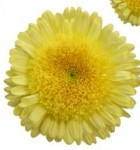 shrink-wrap-pin-daisy