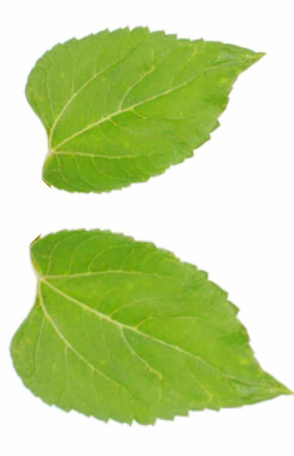 sunflower-leaves